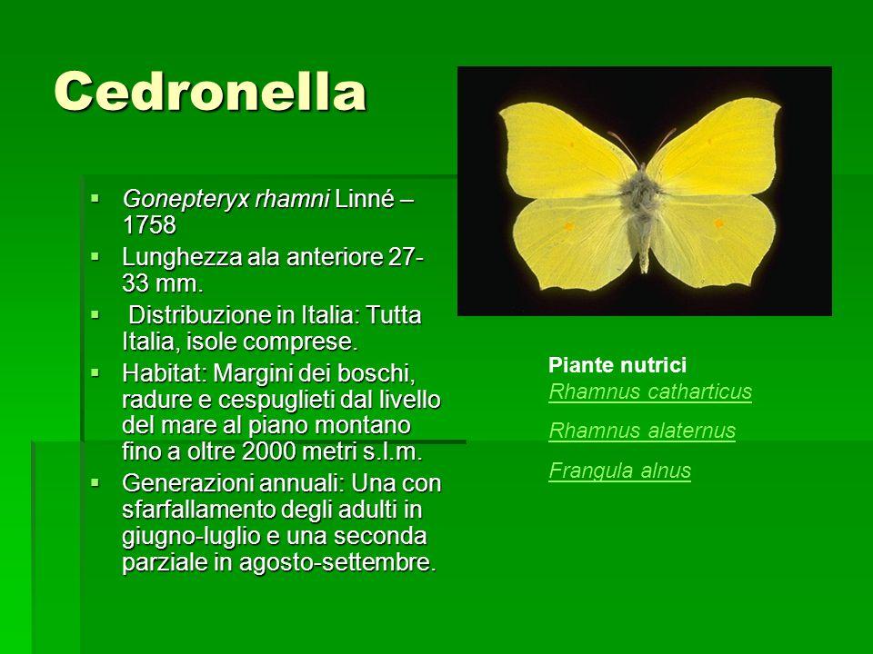 Cedronella Gonepteryx rhamni Linné – 1758