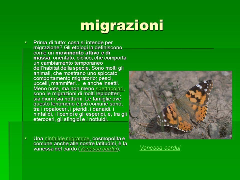 migrazioni Vanessa cardui