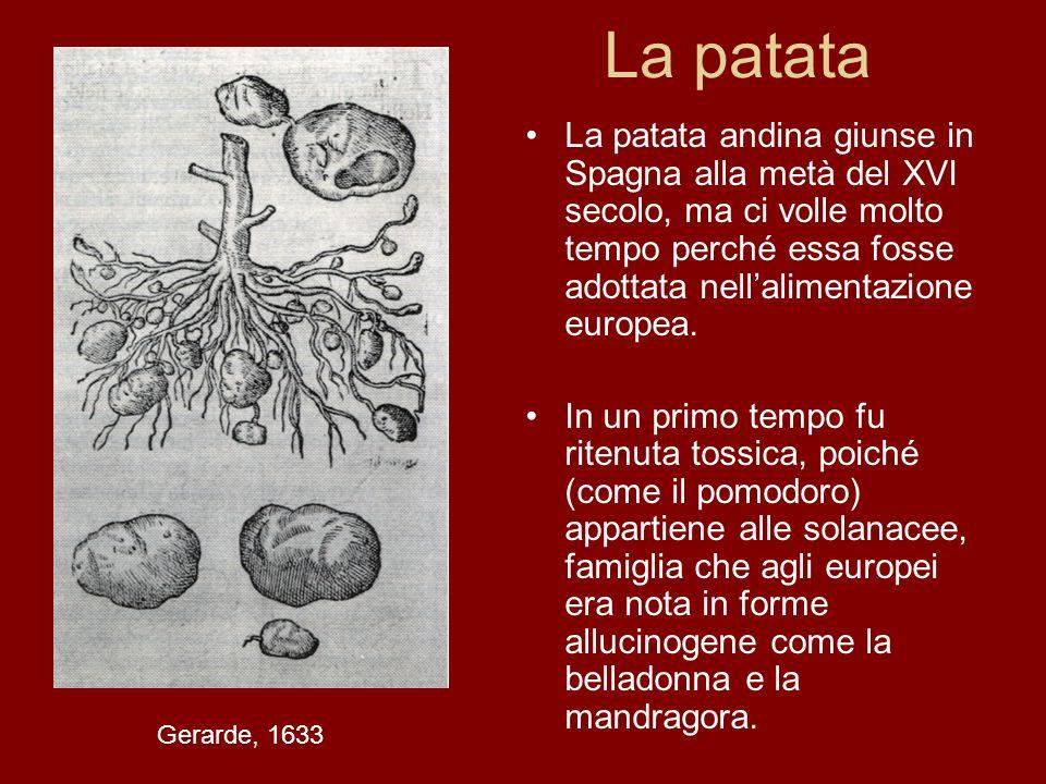 La patata La patata andina giunse in Spagna alla metà del XVI secolo, ma ci volle molto tempo perché essa fosse adottata nell'alimentazione europea.