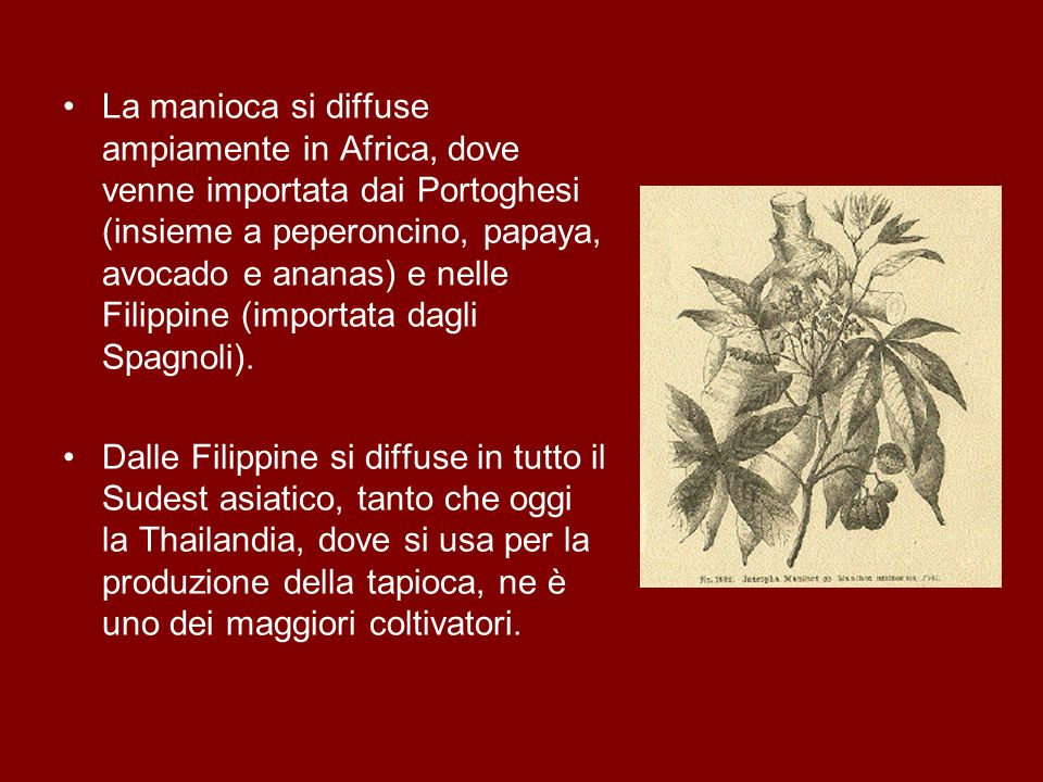 La manioca si diffuse ampiamente in Africa, dove venne importata dai Portoghesi (insieme a peperoncino, papaya, avocado e ananas) e nelle Filippine (importata dagli Spagnoli).