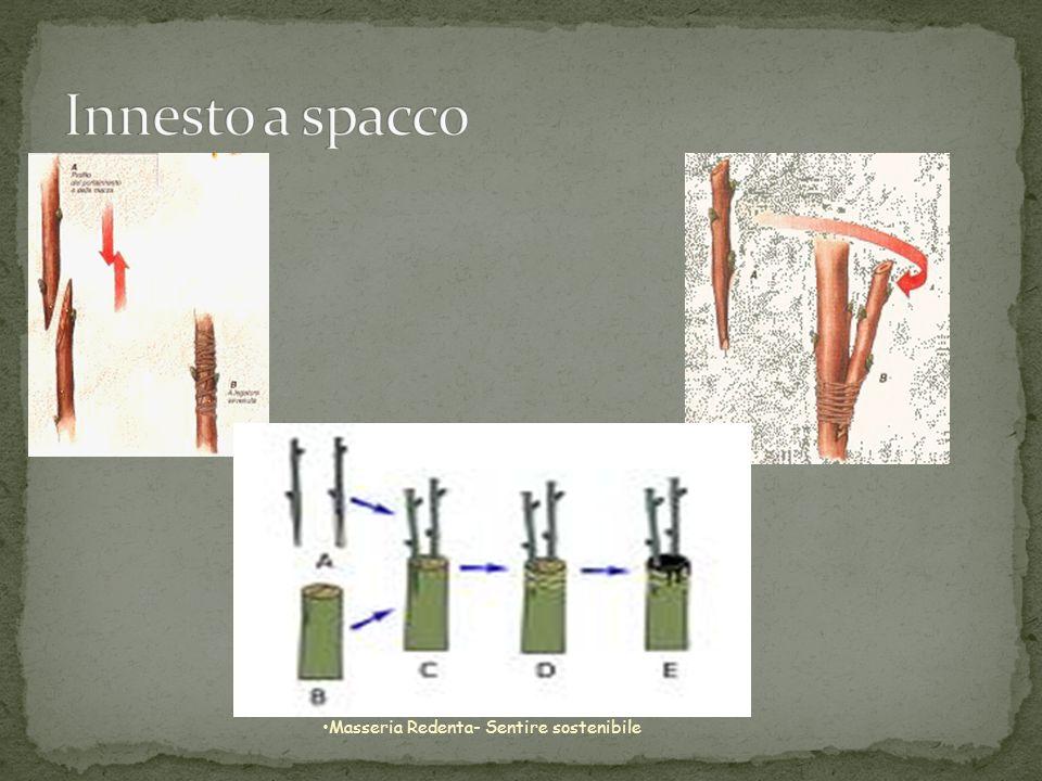Innesto a spacco Masseria Redenta- Sentire sostenibile
