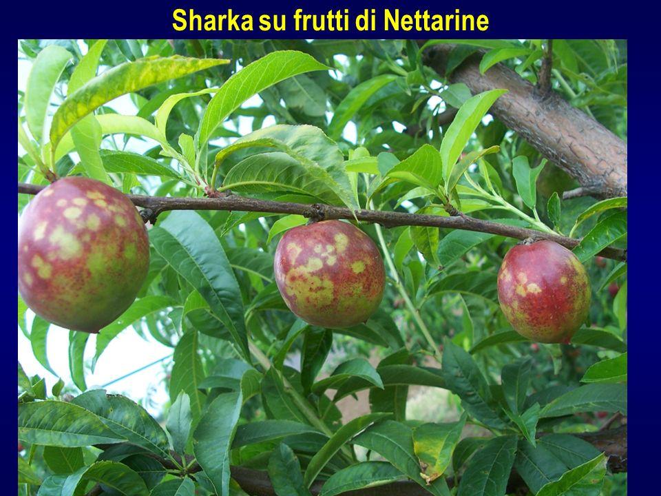Sharka su frutti di Nettarine