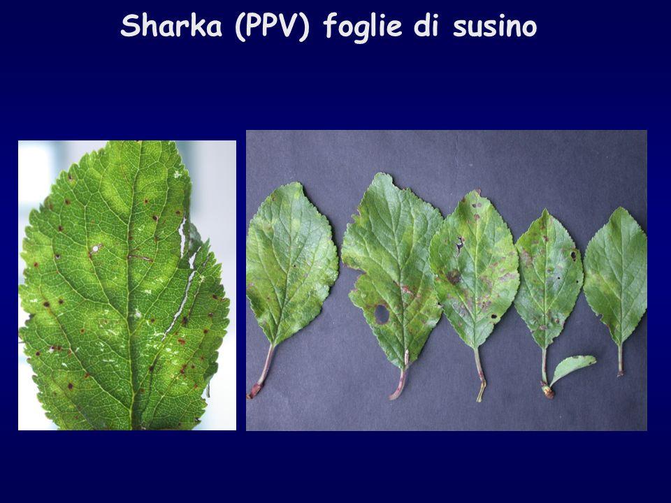Sharka (PPV) foglie di susino