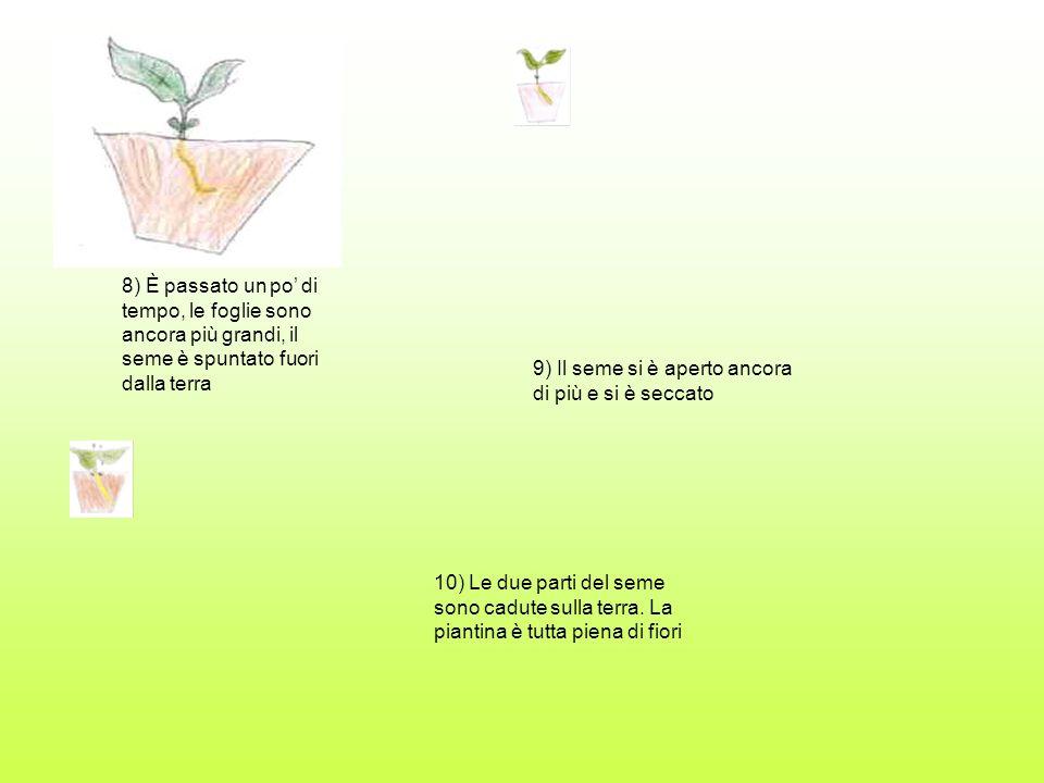 8) È passato un po' di tempo, le foglie sono ancora più grandi, il seme è spuntato fuori dalla terra