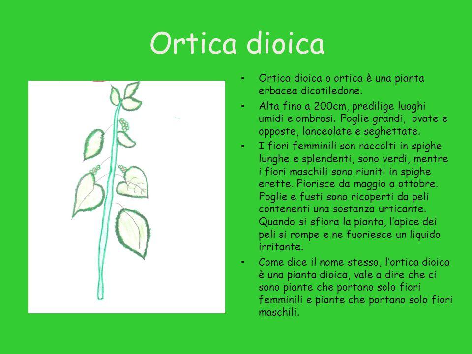 Ortica dioica Ortica dioica o ortica è una pianta erbacea dicotiledone.