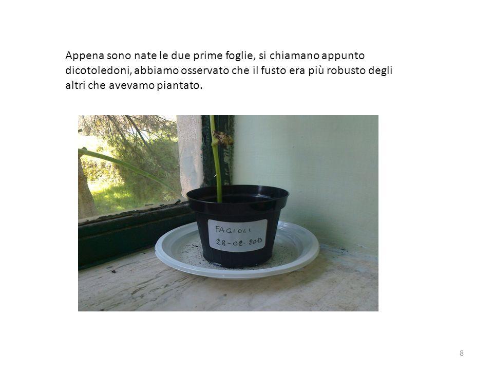 Appena sono nate le due prime foglie, si chiamano appunto dicotoledoni, abbiamo osservato che il fusto era più robusto degli altri che avevamo piantato.