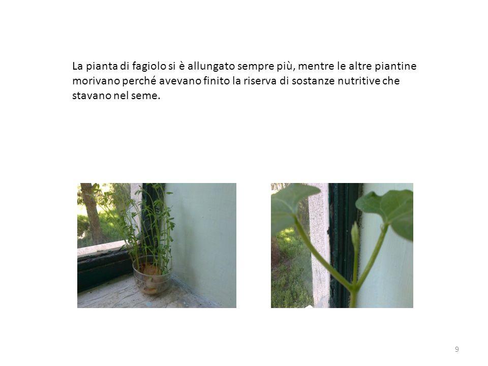 La pianta di fagiolo si è allungato sempre più, mentre le altre piantine morivano perché avevano finito la riserva di sostanze nutritive che stavano nel seme.