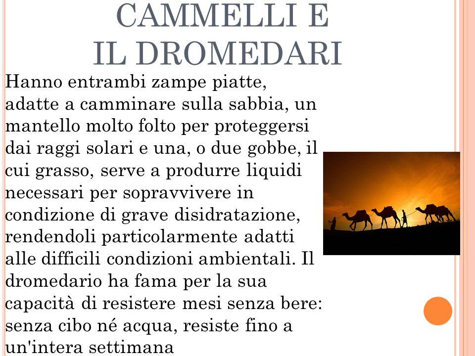 CAMMELLI E IL DROMEDARI