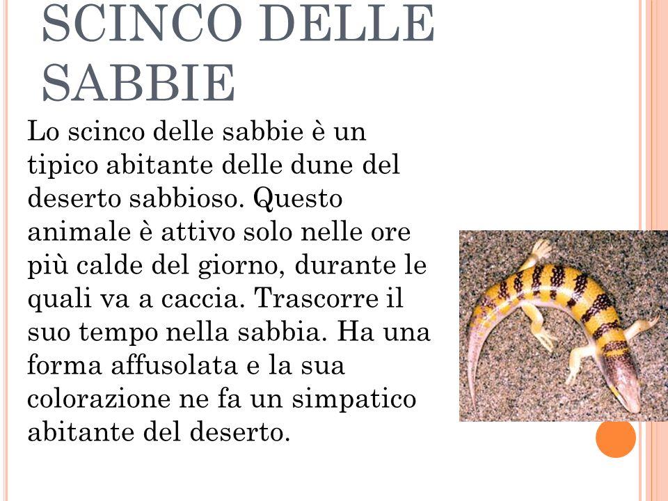SCINCO DELLE SABBIE