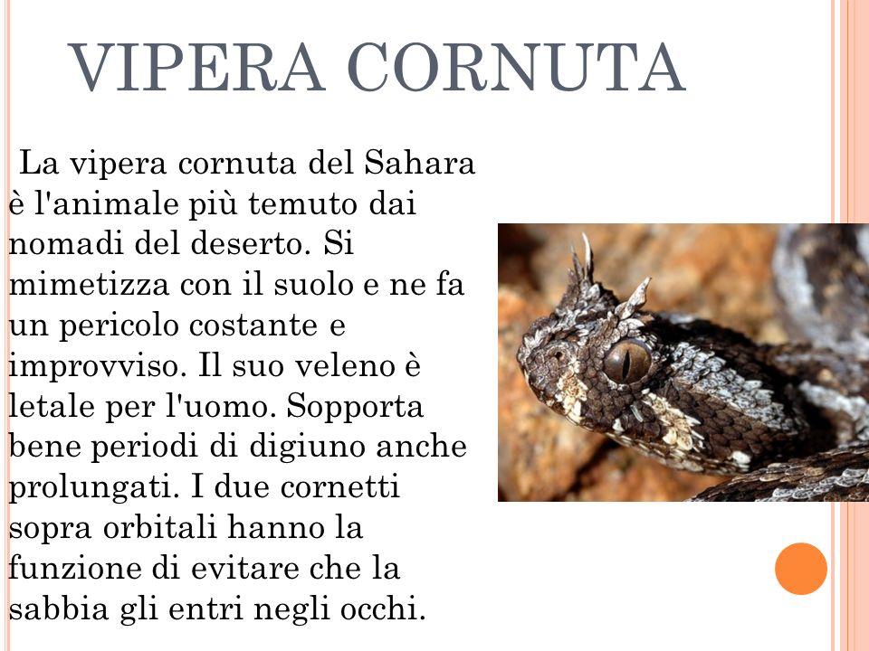 VIPERA CORNUTA