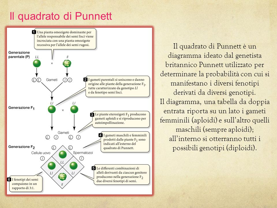 13/11/11 Il quadrato di Punnett.