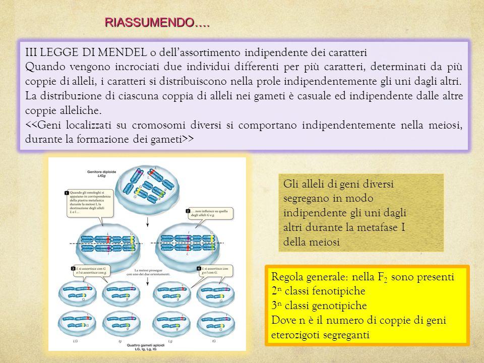 RIASSUMENDO…. III LEGGE DI MENDEL o dell'assortimento indipendente dei caratteri.