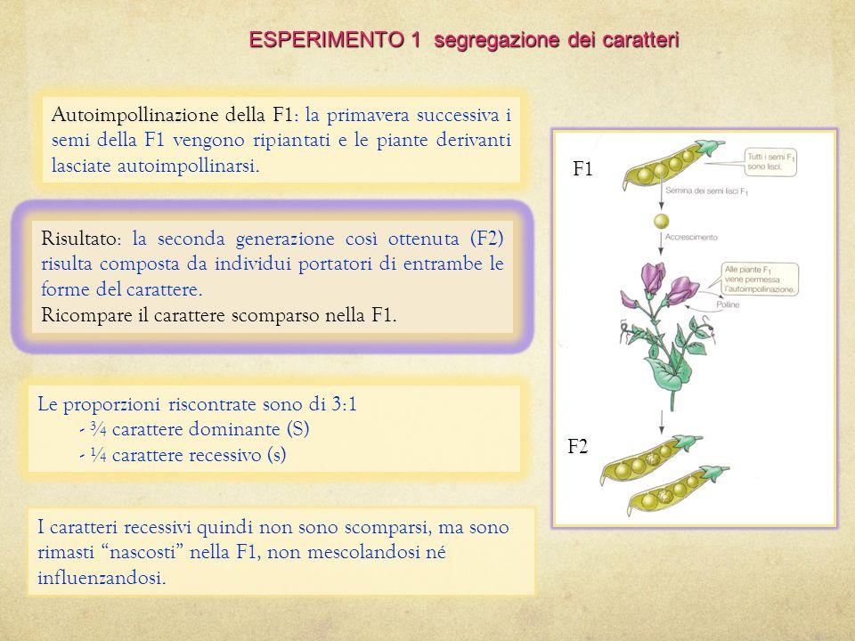 ESPERIMENTO 1 segregazione dei caratteri