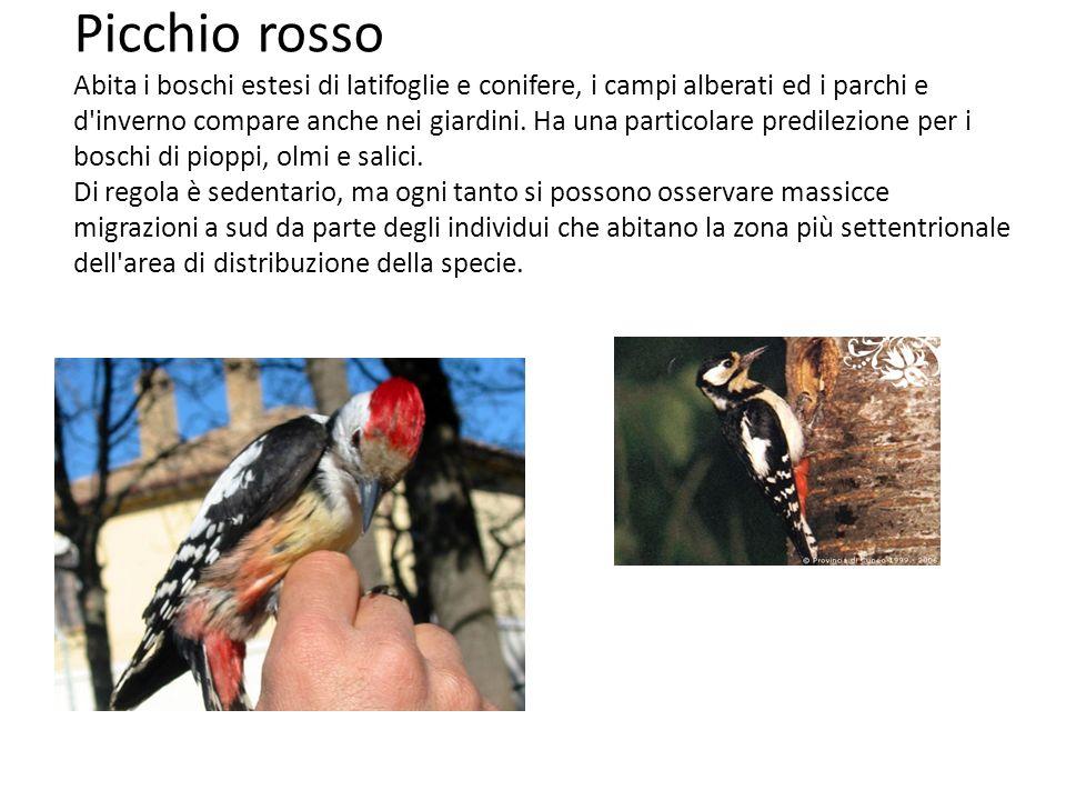 Picchio rosso Abita i boschi estesi di latifoglie e conifere, i campi alberati ed i parchi e d inverno compare anche nei giardini.