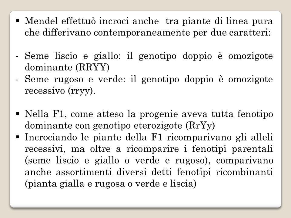 Mendel effettuò incroci anche tra piante di linea pura che differivano contemporaneamente per due caratteri: