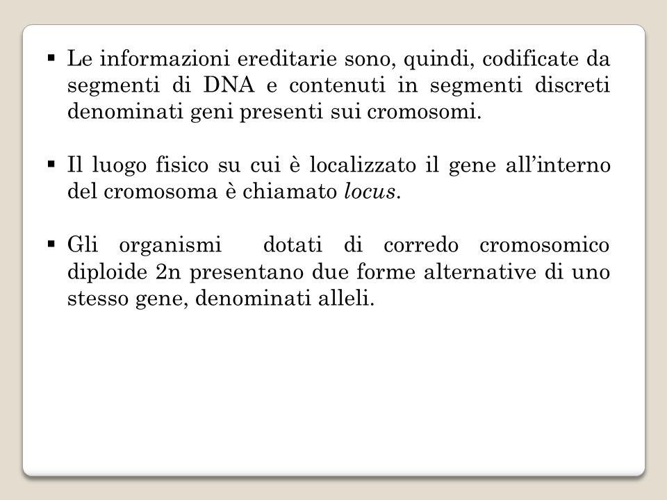 Le informazioni ereditarie sono, quindi, codificate da segmenti di DNA e contenuti in segmenti discreti denominati geni presenti sui cromosomi.
