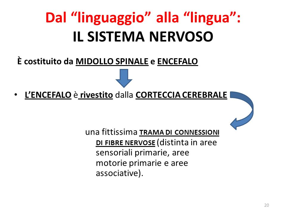 Dal linguaggio alla lingua : IL SISTEMA NERVOSO