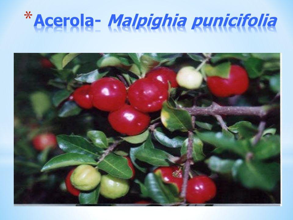 Acerola- Malpighia punicifolia
