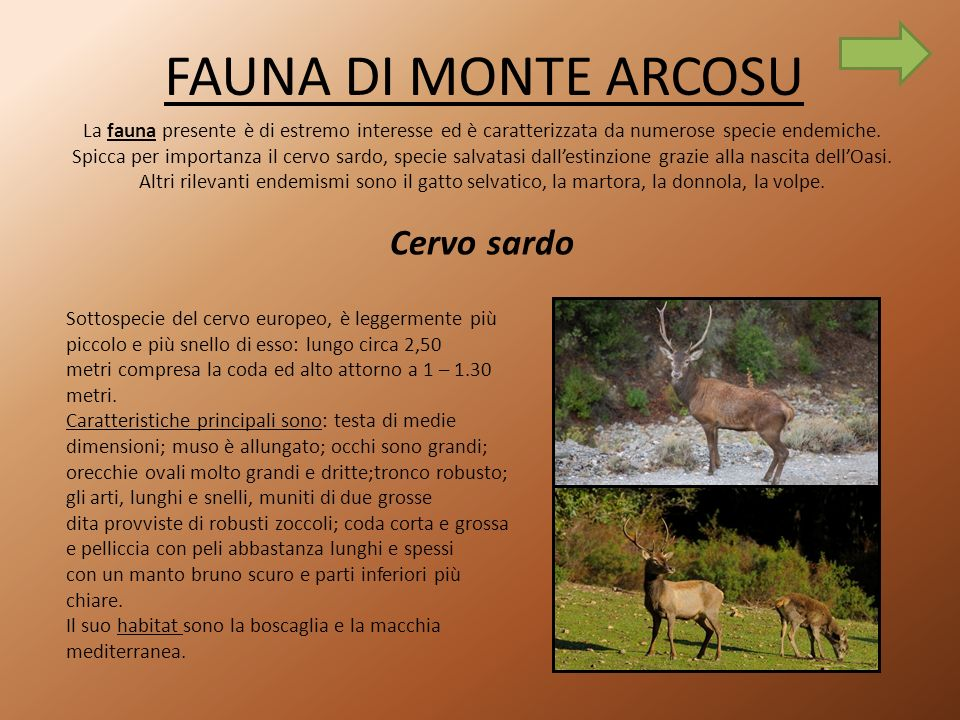 FAUNA DI MONTE ARCOSU Cervo sardo