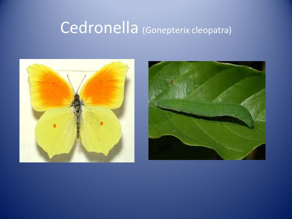 Cedronella (Gonepterix cleopatra)