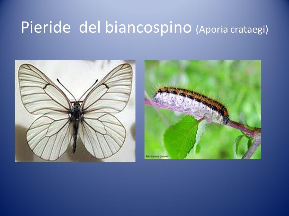 Pieride del biancospino (Aporia crataegi)