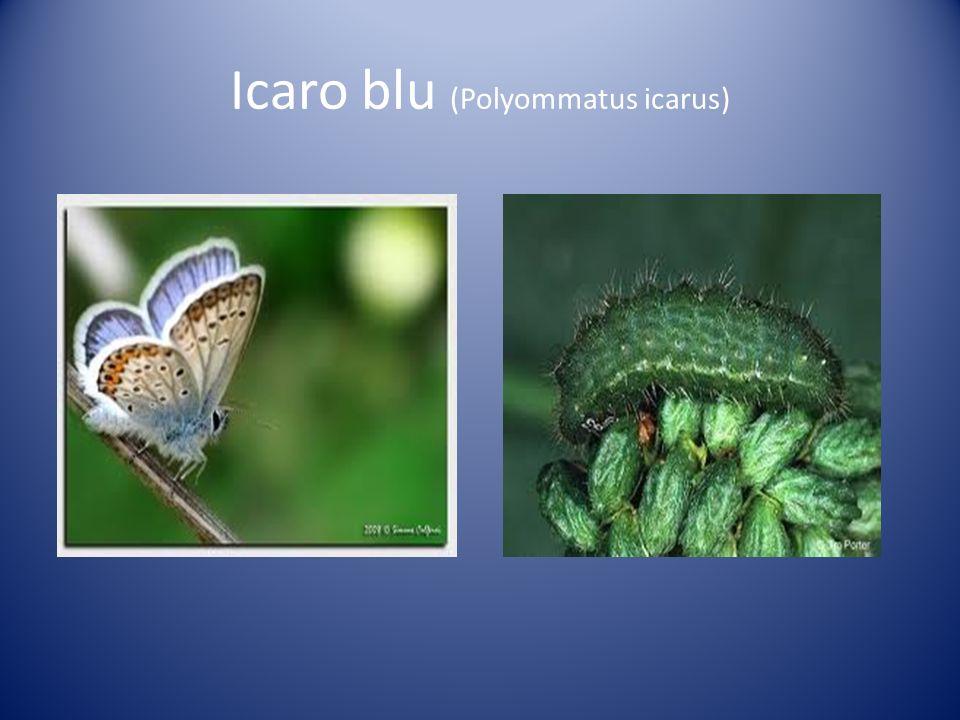 Icaro blu (Polyommatus icarus)