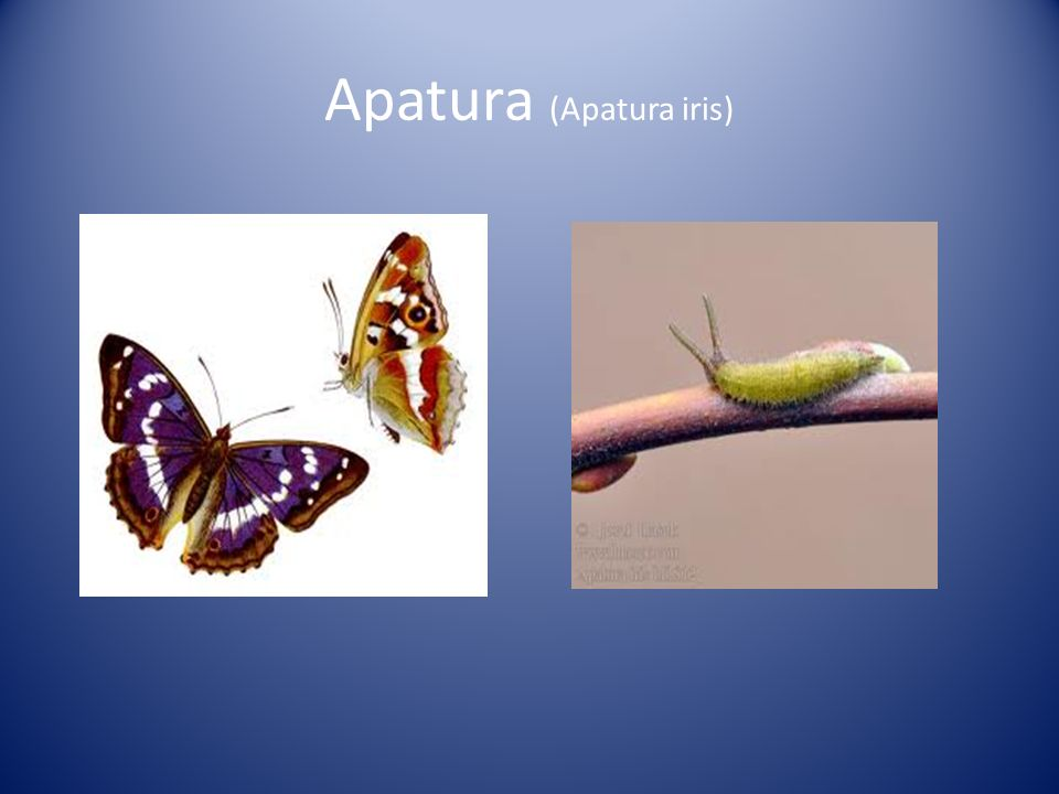 Apatura (Apatura iris)