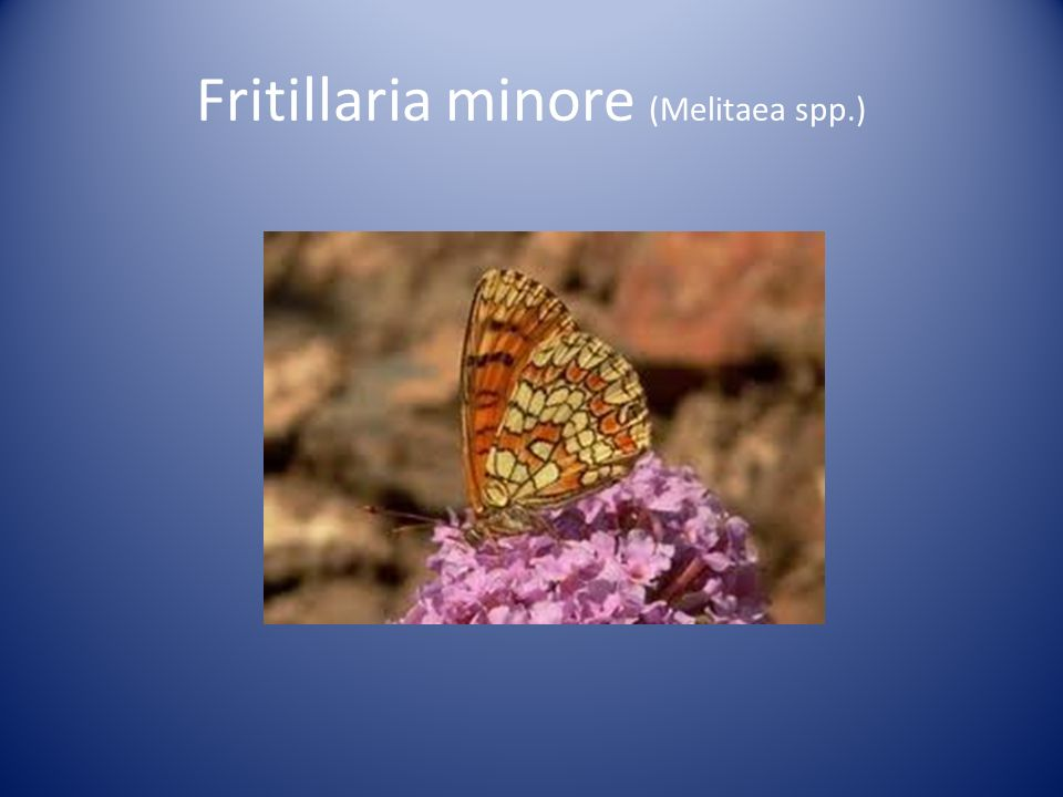 Fritillaria minore (Melitaea spp.)