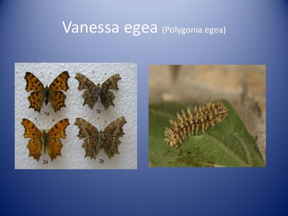 Vanessa egea (Polygonia egea)