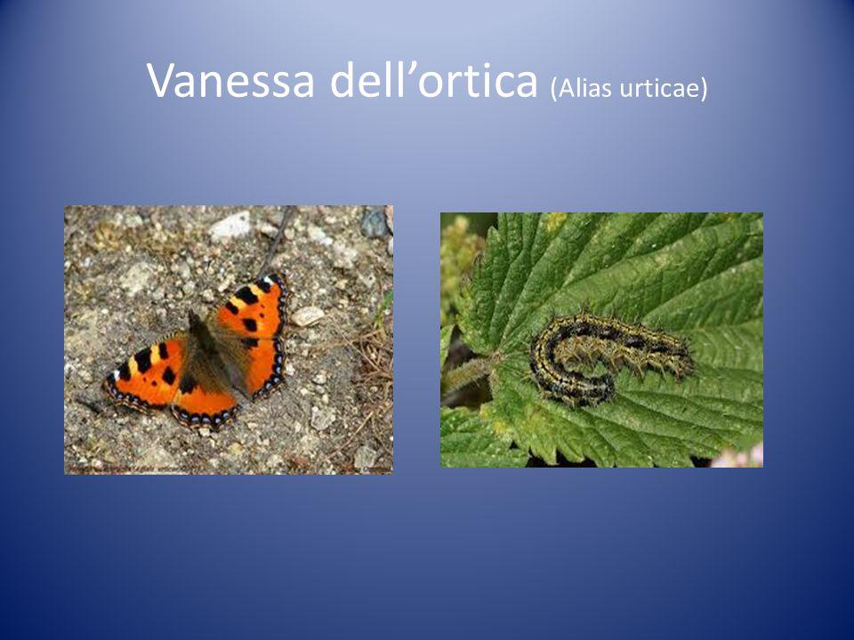 Vanessa dell'ortica (Alias urticae)