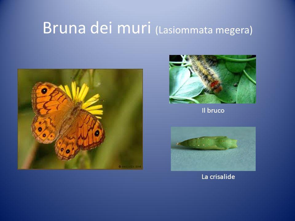 Bruna dei muri (Lasiommata megera)