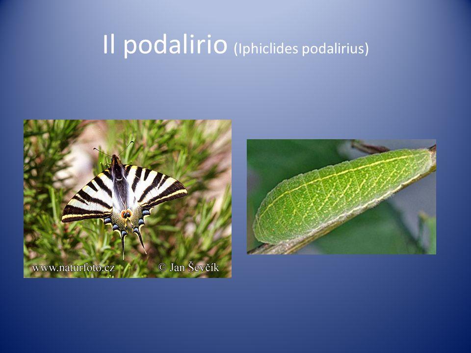 Il podalirio (Iphiclides podalirius)