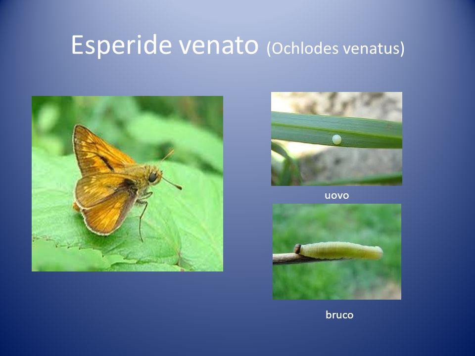Esperide venato (Ochlodes venatus)