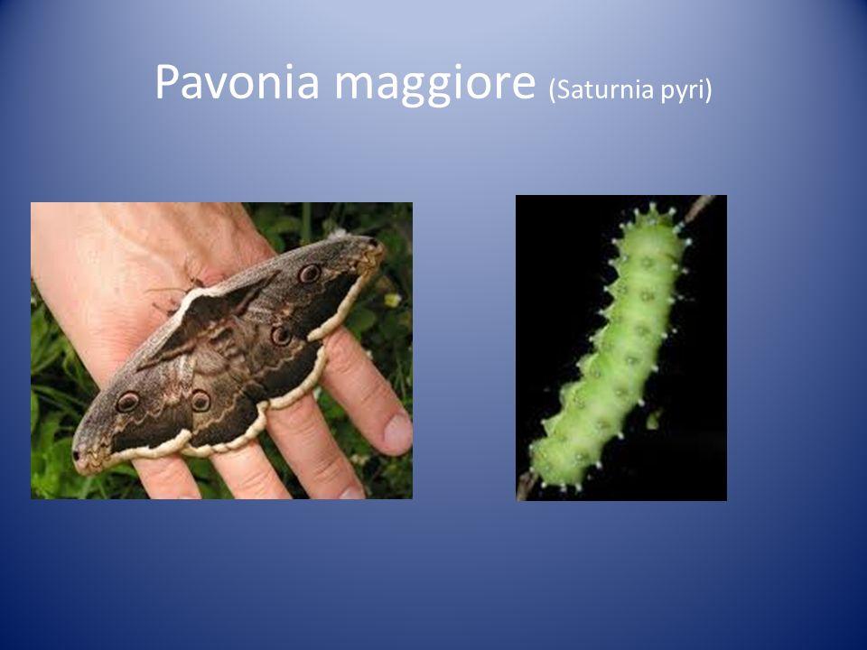 Pavonia maggiore (Saturnia pyri)