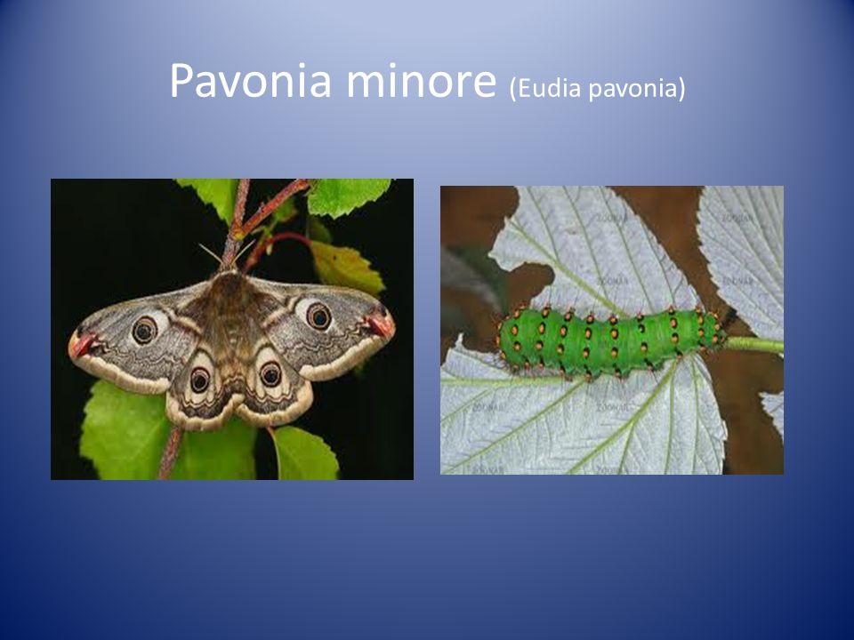 Pavonia minore (Eudia pavonia)