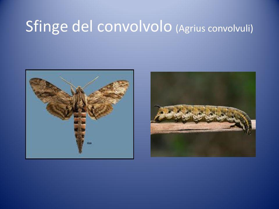 Sfinge del convolvolo (Agrius convolvuli)