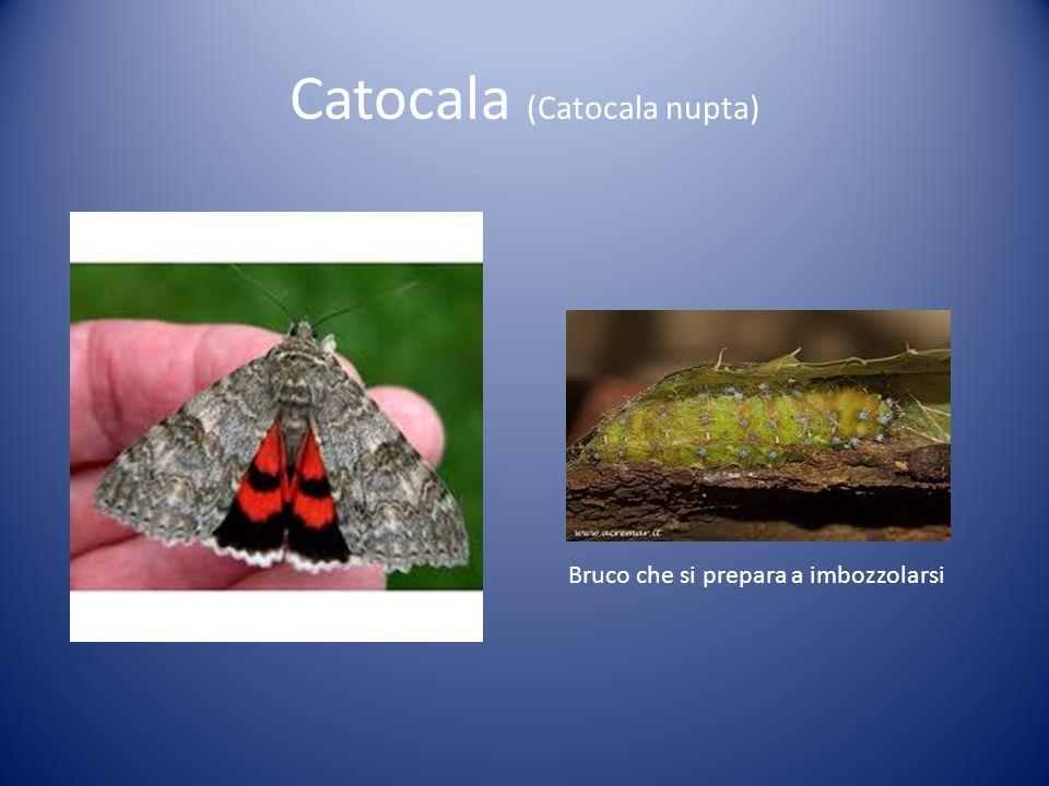 Catocala (Catocala nupta)
