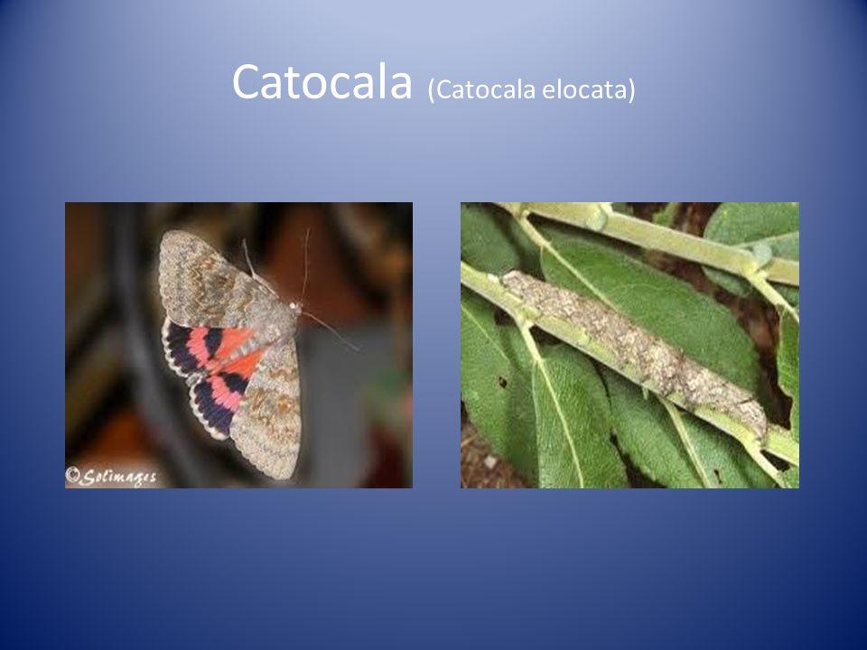 Catocala (Catocala elocata)