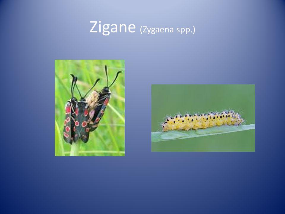 Zigane (Zygaena spp.)