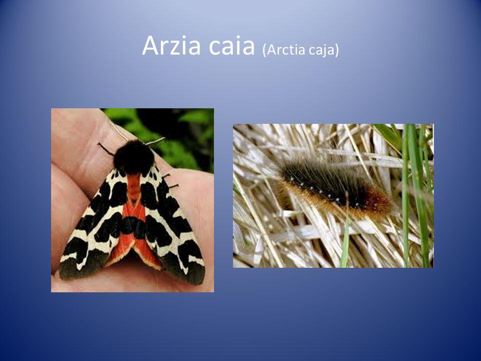 Arzia caia (Arctia caja)