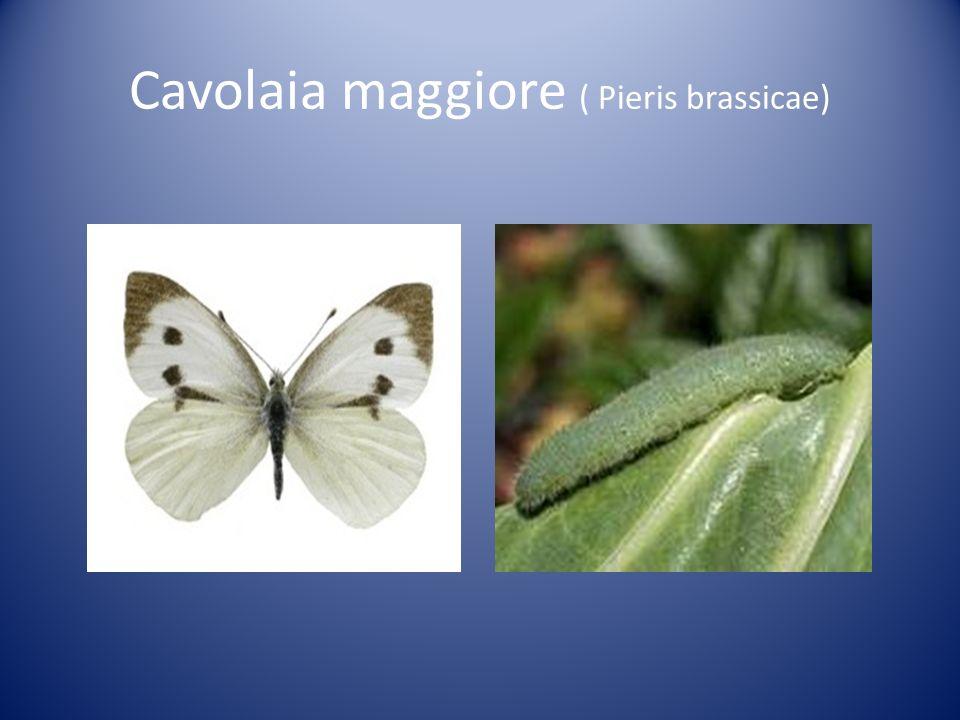 Cavolaia maggiore ( Pieris brassicae)