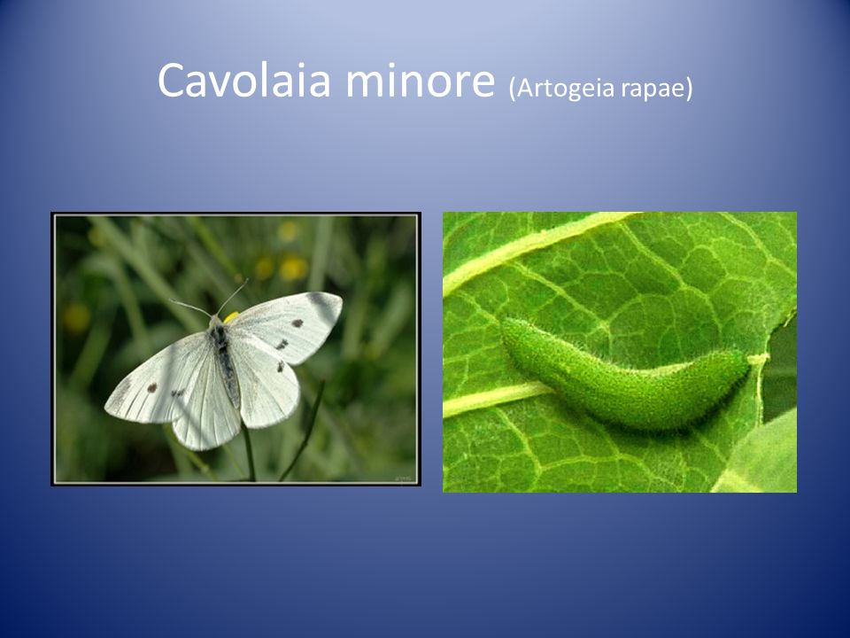 Cavolaia minore (Artogeia rapae)