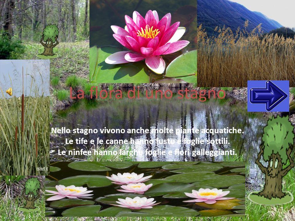 La flora di uno stagno Nello stagno vivono anche molte piante acquatiche. Le tife e le canne hanno fusto e foglie sottili.