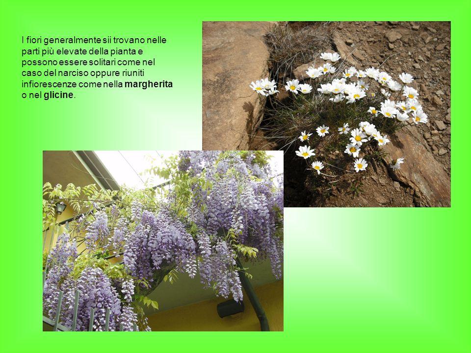 I fiori generalmente sii trovano nelle parti più elevate della pianta e possono essere solitari come nel caso del narciso oppure riuniti infiorescenze come nella margherita o nel glicine.