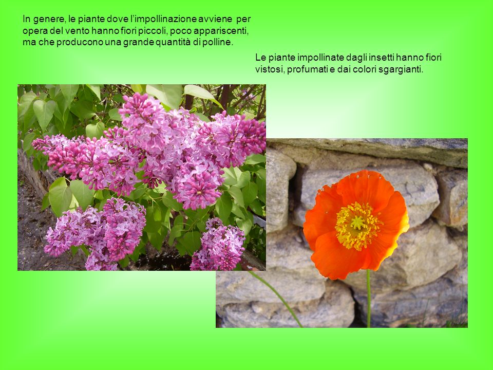 In genere, le piante dove l'impollinazione avviene per opera del vento hanno fiori piccoli, poco appariscenti, ma che producono una grande quantità di polline.
