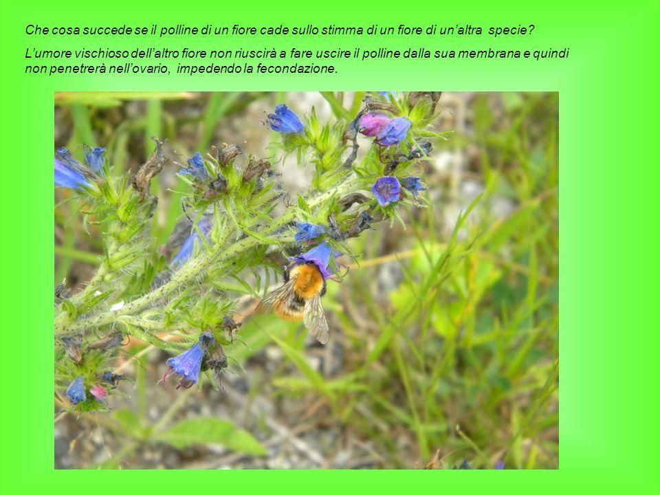 Che cosa succede se il polline di un fiore cade sullo stimma di un fiore di un'altra specie