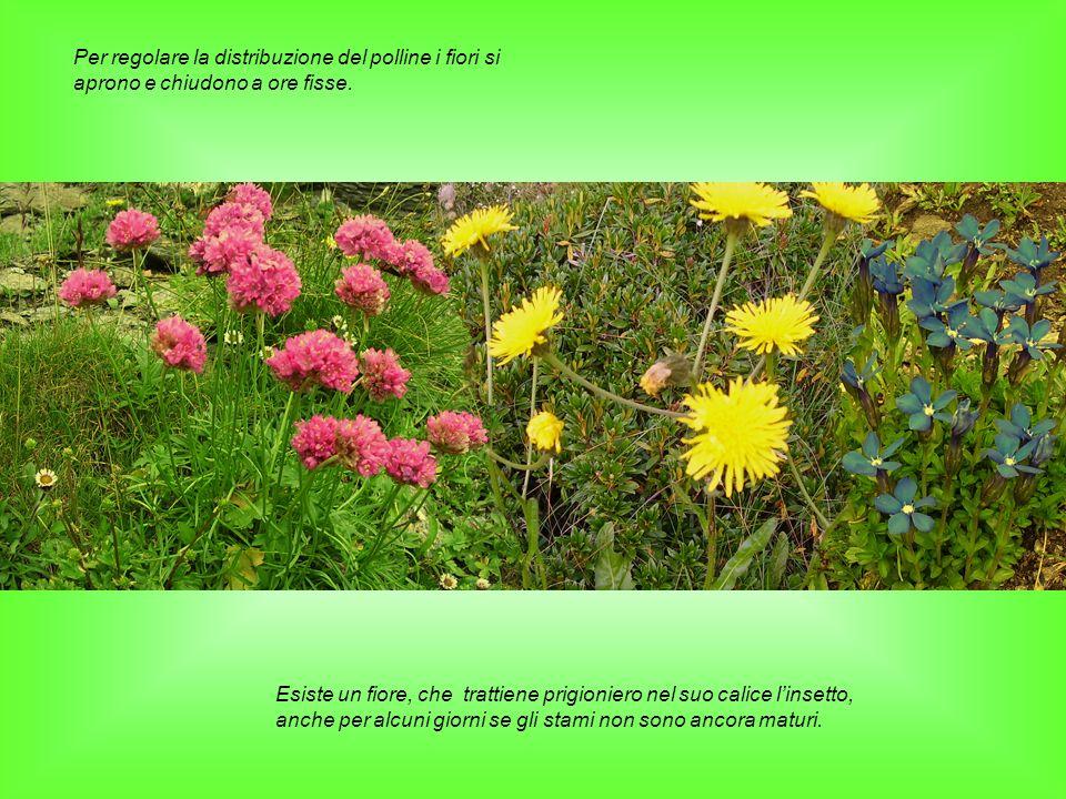 Per regolare la distribuzione del polline i fiori si aprono e chiudono a ore fisse.