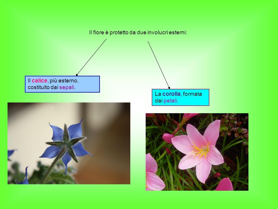 Il fiore è protetto da due involucri esterni: