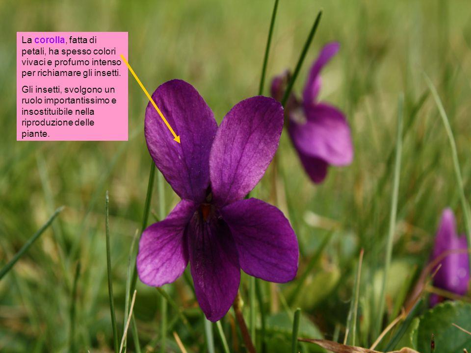 La corolla, fatta di petali, ha spesso colori vivaci e profumo intenso per richiamare gli insetti.