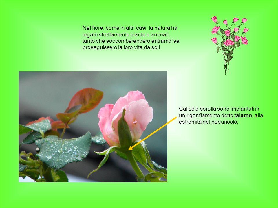 Nel fiore, come in altri casi, la natura ha legato strettamente piante e animali, tanto che soccomberebbero entrambi se proseguissero la loro vita da soli.
